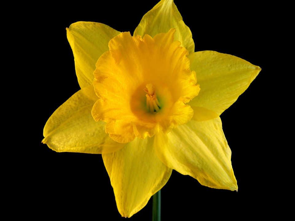 Daffodil, Flower, Flora, Nature, Spring, Yellow, Grow