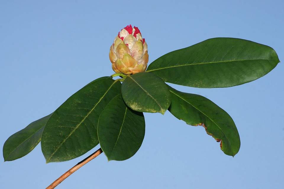 Rhododendron, Flower, Leaf, Flora, Nature, Tree, Growth