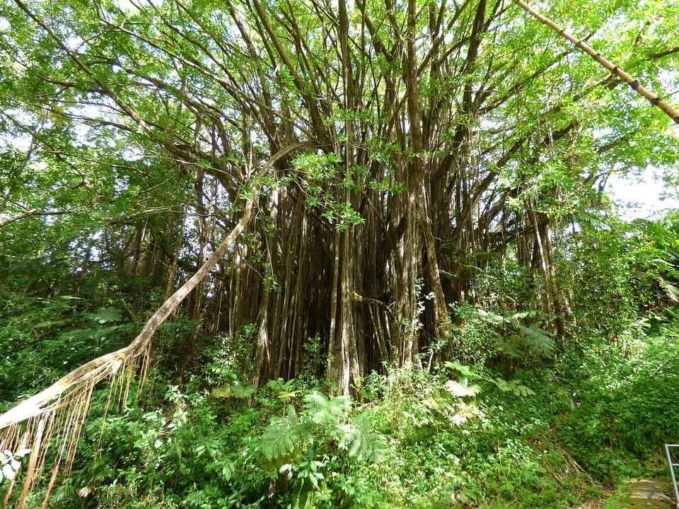 Greenery, Flora, Hawaii, Landscape, Hiking, Jungle