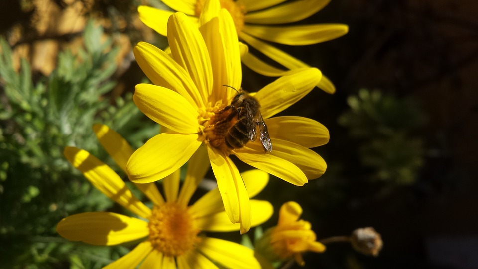 Nature, Flower, Bee, Honey, Garden, Daisy, Flora