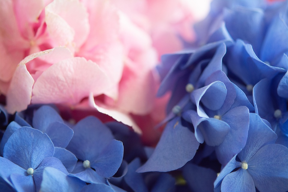 Hydrangea, Flowers, Nature, Blue, Flora, Purple