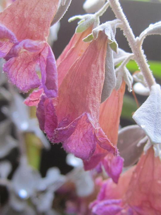 Flowers, Dry, Bell, Summer, Nature, Plant, Leaf, Flora