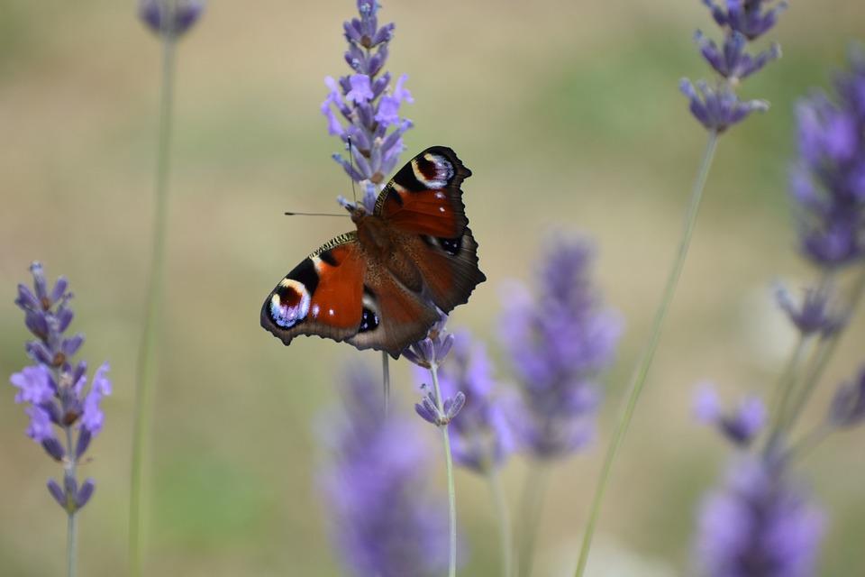 Butterfly, Lavender, Nature, Flora, Garden, Violet