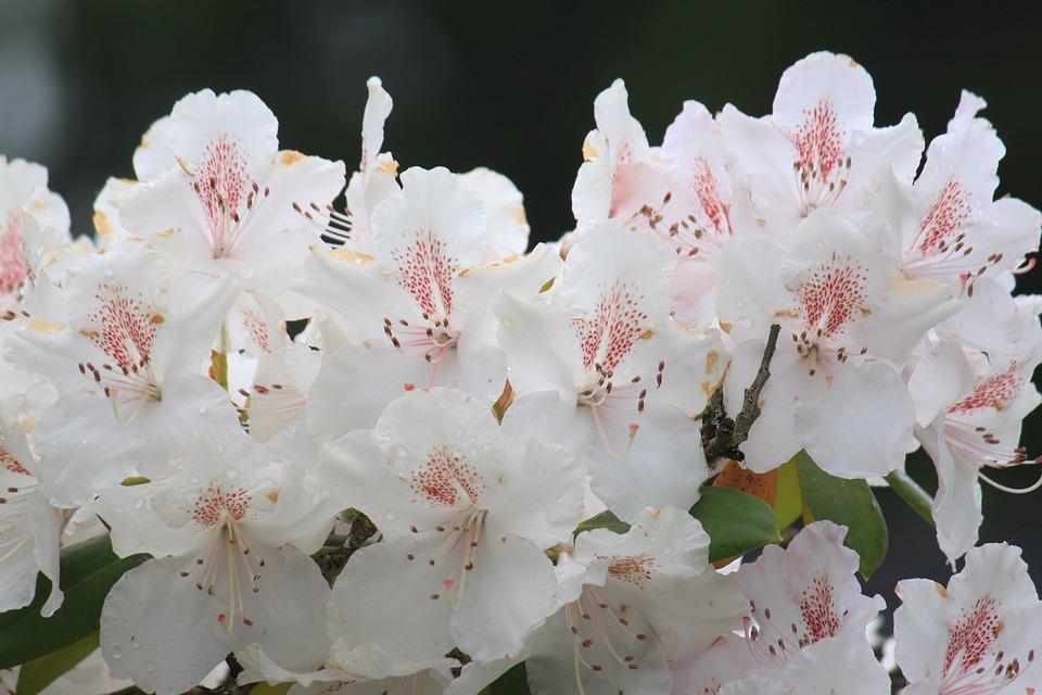 Flower, Flora, Nature, Garden, Leaf, Rhododendron