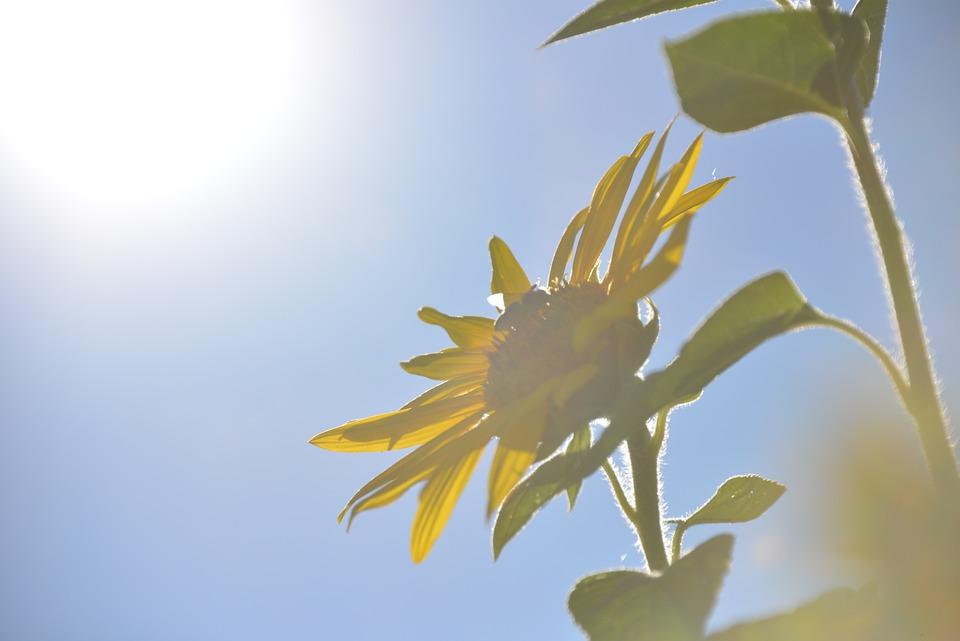 Sun Flower, Flowers, Summer, Nature, Flora, Yellow