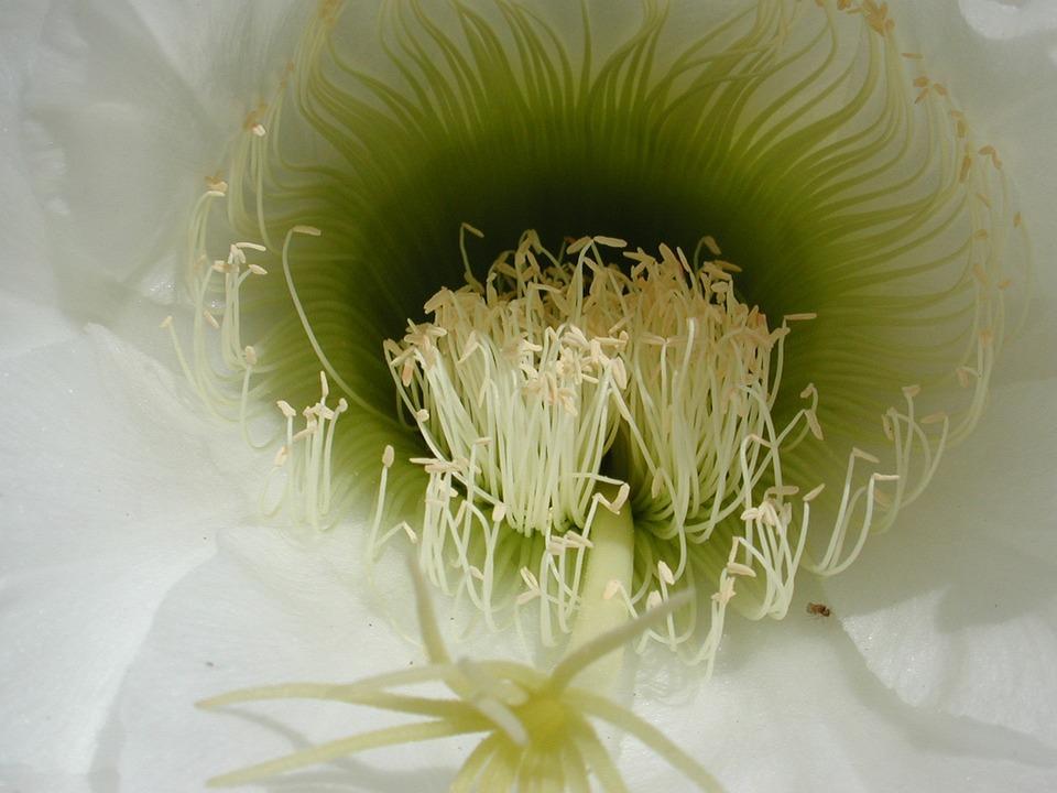Nature, Flower, Flora, Desktop, Closeup, Cactus, White