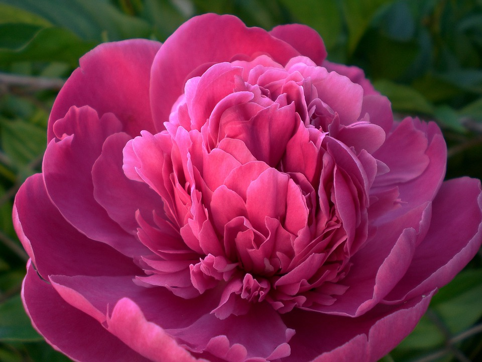 Peony, Flower, Flora, Blossom, Bloom, Ornamental Plant