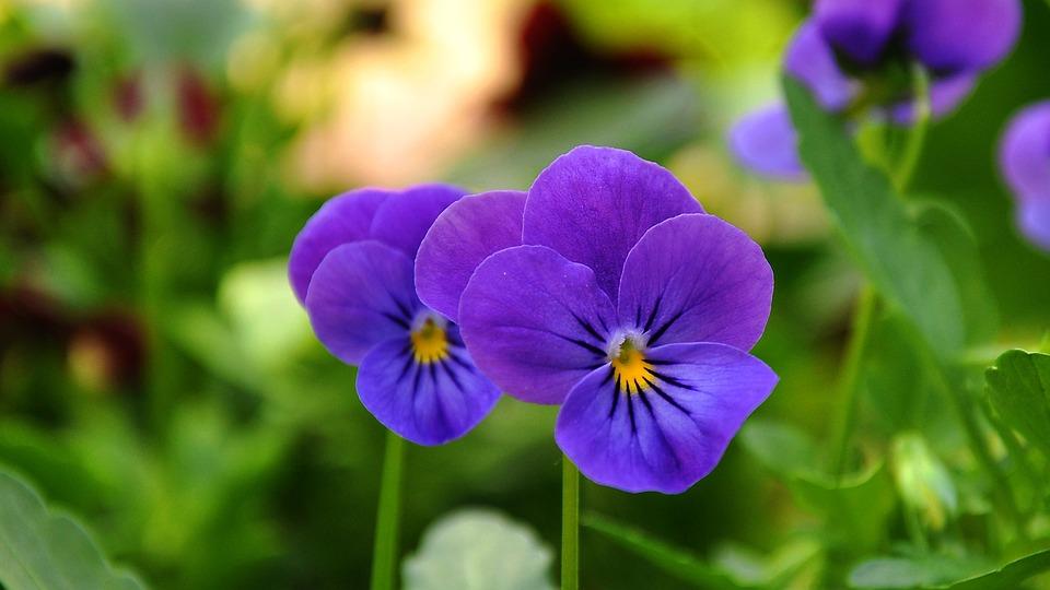 Pansy, Flower, Flower Garden, Flora
