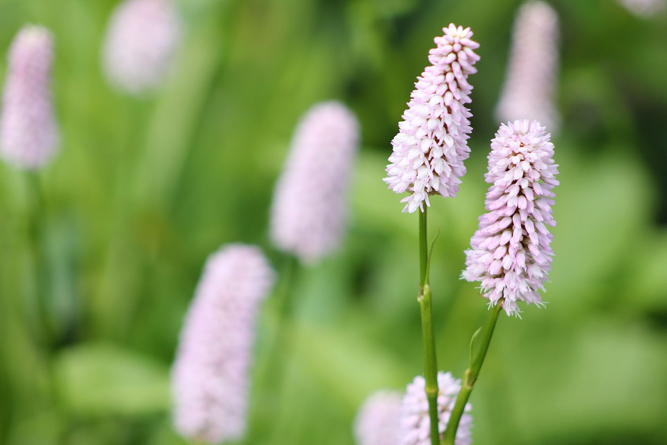 Persicaria, Knotweed, Plant, Bloom, Flora, Blossom