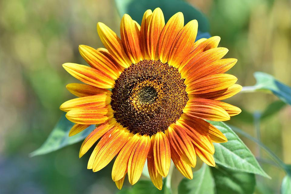 Sunflower, Flower, Petals, Bloom, Blossom, Bloom, Flora