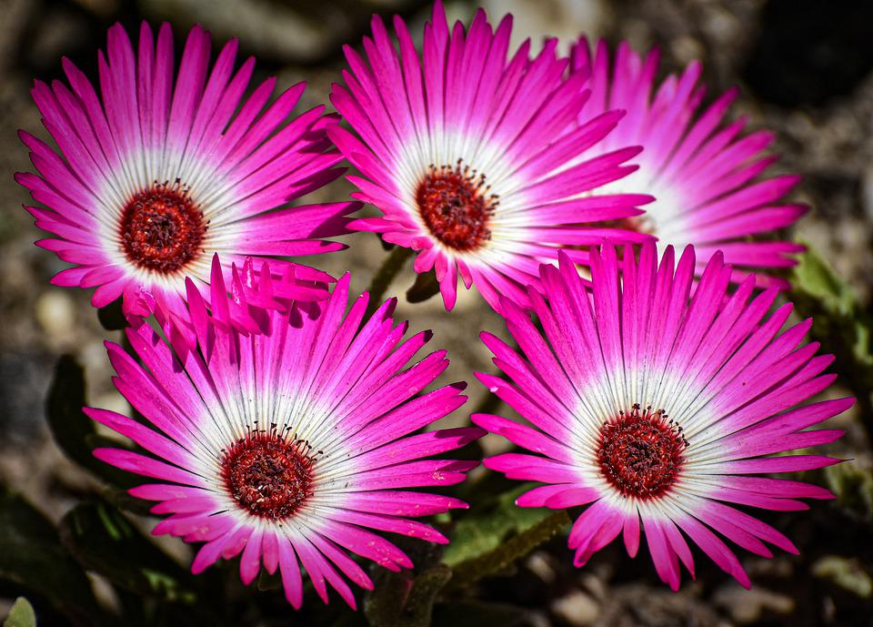 Flowers, Pink, Colorful, Nature, Bloom, Flora, Blossom