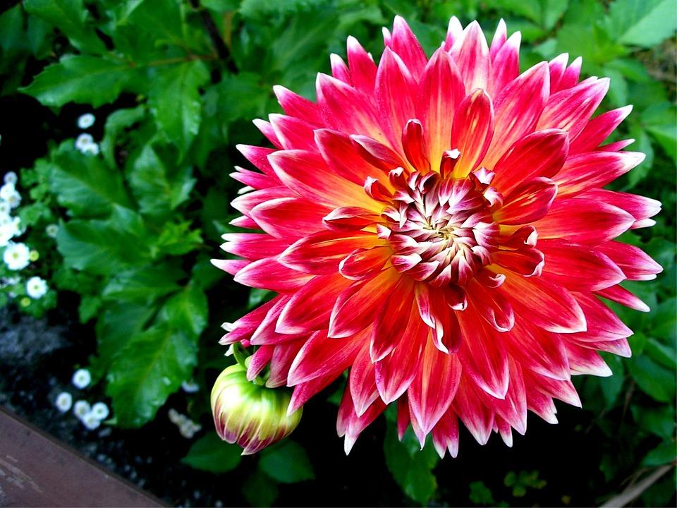 Dahlia, Garden Plant, Nature, Flora, Flower, Pink