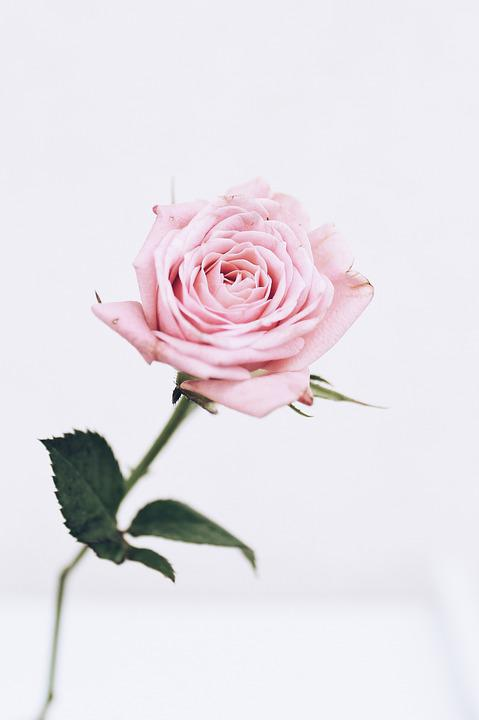 Roses, Pink, White, Summer, Nature, Flora, Plant