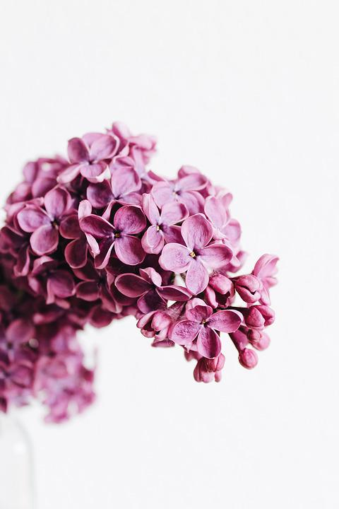 Flowers, Lilac, Purple, Violet, Pink, Flora, Plant, May
