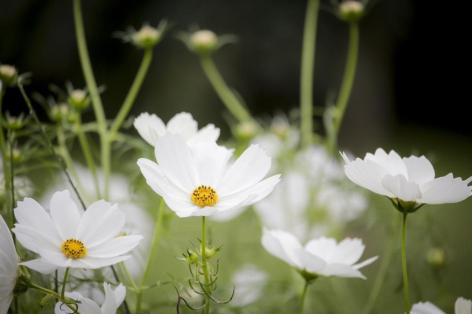Cosmos, White, Flowering, Nature, Plant, Flowers, Flora