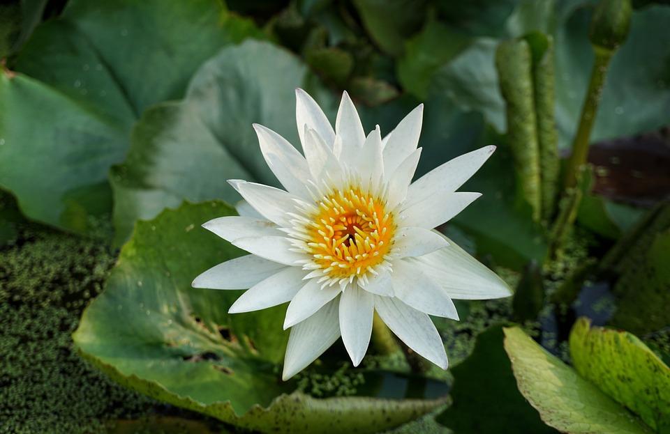 White, Lily, Lotus, Flora, Flower, Pond, Nature, Leaf