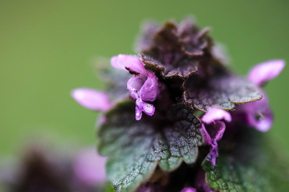 Orphan Nettle, Purple, Nettle Of, Flora, Wildflower