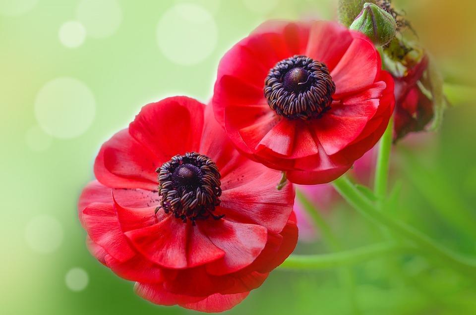Ranunculi, Red, Cut Flowers, Blossom, Bright, Flora