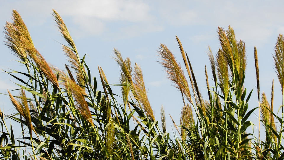 Reed, Plant, Nature, Countryside, Flora, Rural