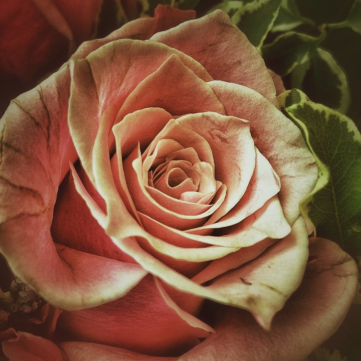 Rose, Flowers, Roses, Love, Flora