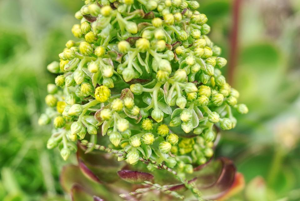 Flower, Macrantha, Seeds, Plant, Seed Head, Flora