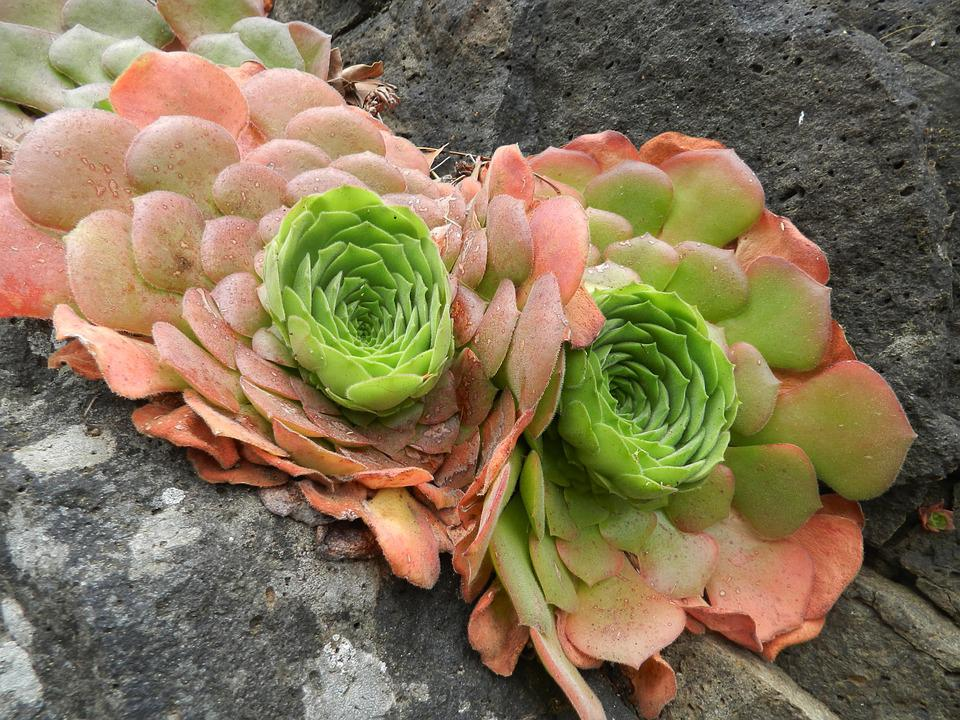 Succulents, Nature, Flora, Alpines