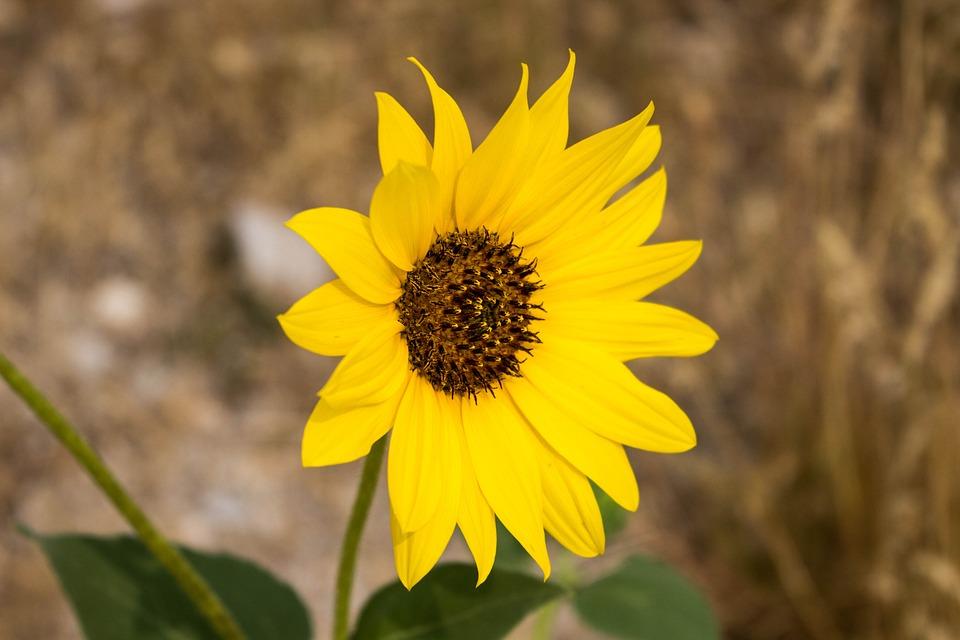 Nature, Flora, Flower, Closeup, Summer, Field, Leaf