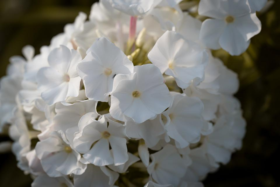 Flower, Blossom, Bloom, White, Garden, Summer, Flora