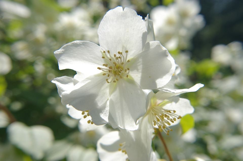 Manchurian Shrub, Flower, White, Sunshine, Flora