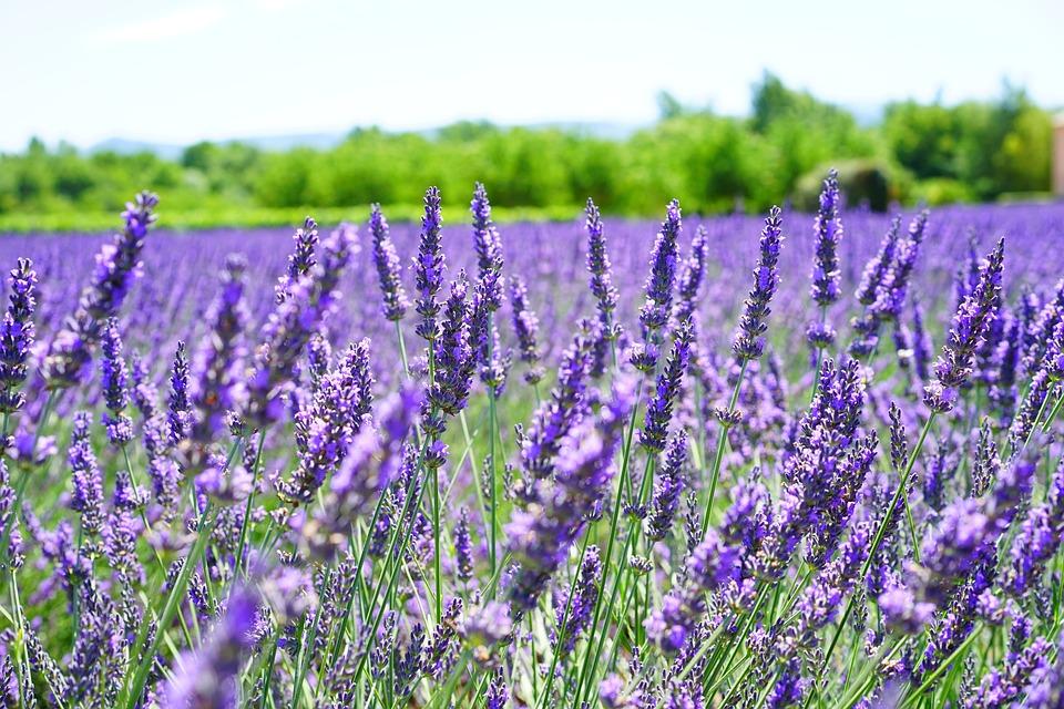 Lavender Flowers, Violet, Flowers, Purple, Flora