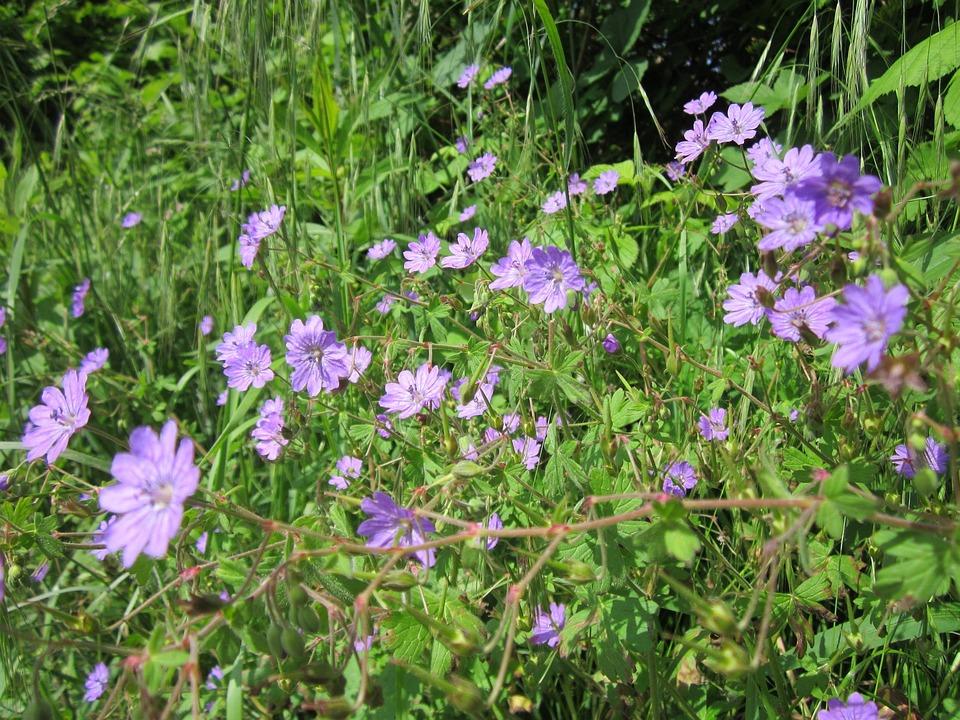 Geranium Pyrenaicum, Wildflower, Flora, Botany, Plant