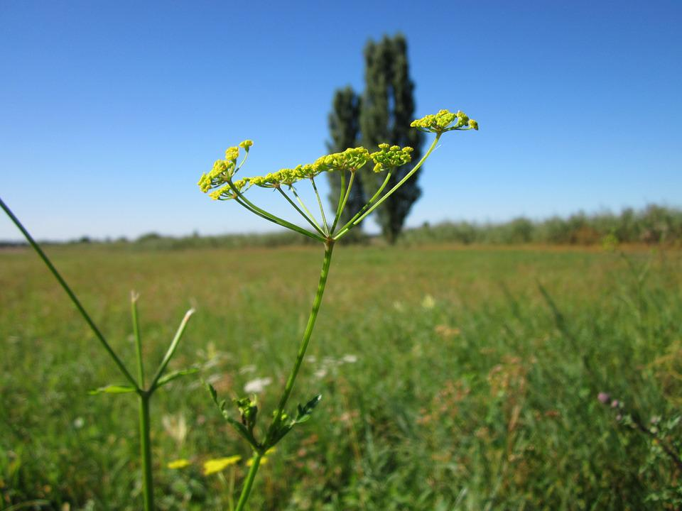 Pastinaca Sativa, Parsnip, Wild, Flora, Wildflower