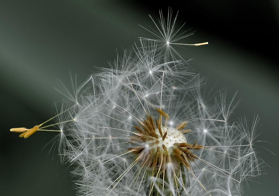 Dandelion, Blowball, Seeds, Wind, Nature, Plant, Flora