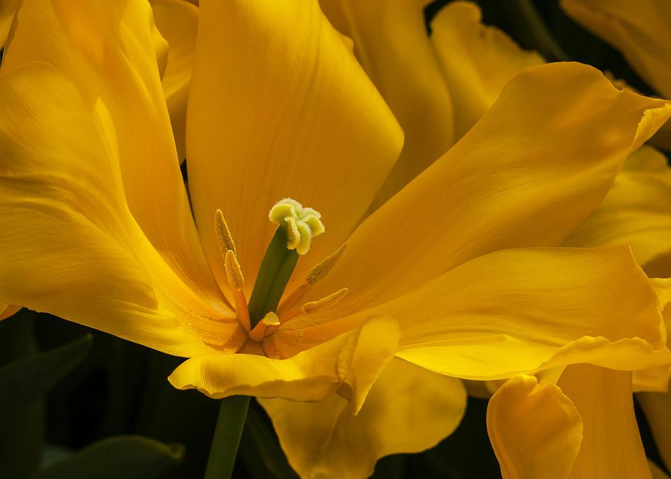 Tulip, Yellow, Flower, Flora, Netherlands, Bloom