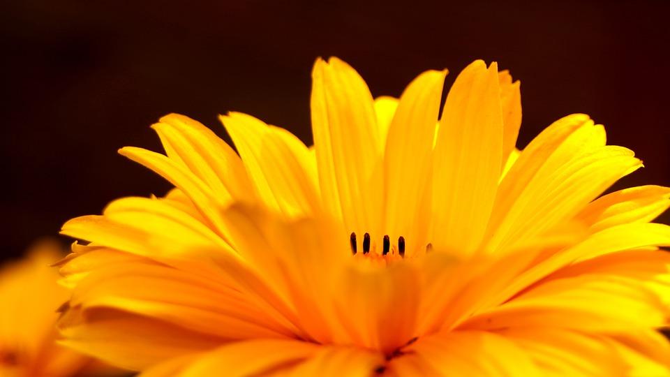 Flower, Yellow, Mädchenauge, Nature, Flora, Petals