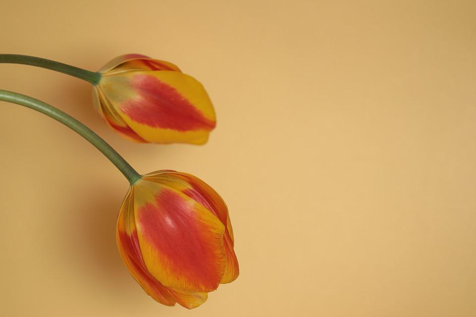 Flowers, Tulips, Nature, Flora, Background, Yellow