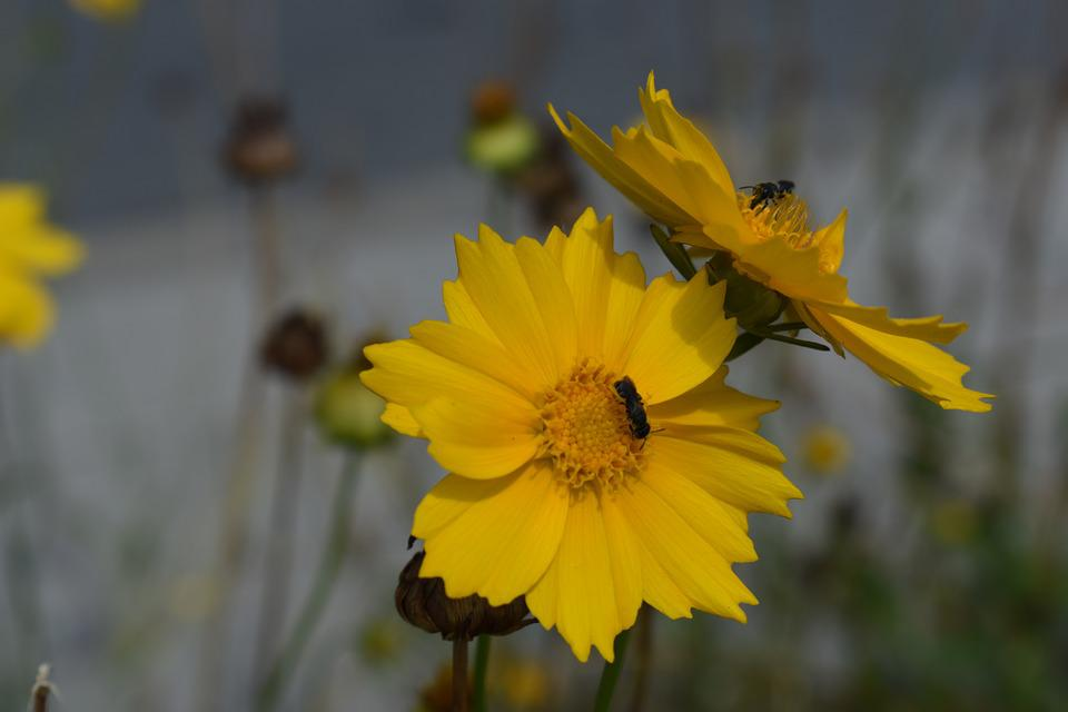 Flower, Yellow, Insect, Bloom, Nature, Flora, Garden