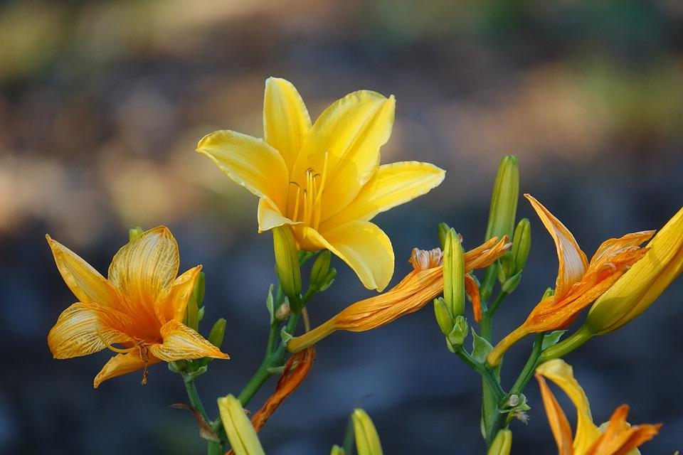 Flower, Lily, Yellow, Garden, Plant, Flora