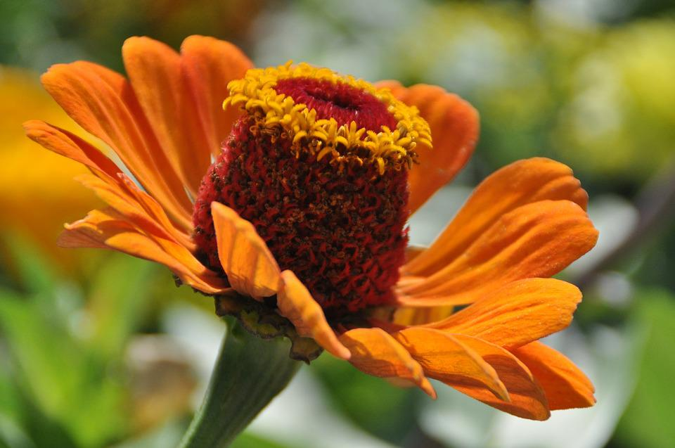 Flower, Flora, Orange, Zinnia, Nature, Garden