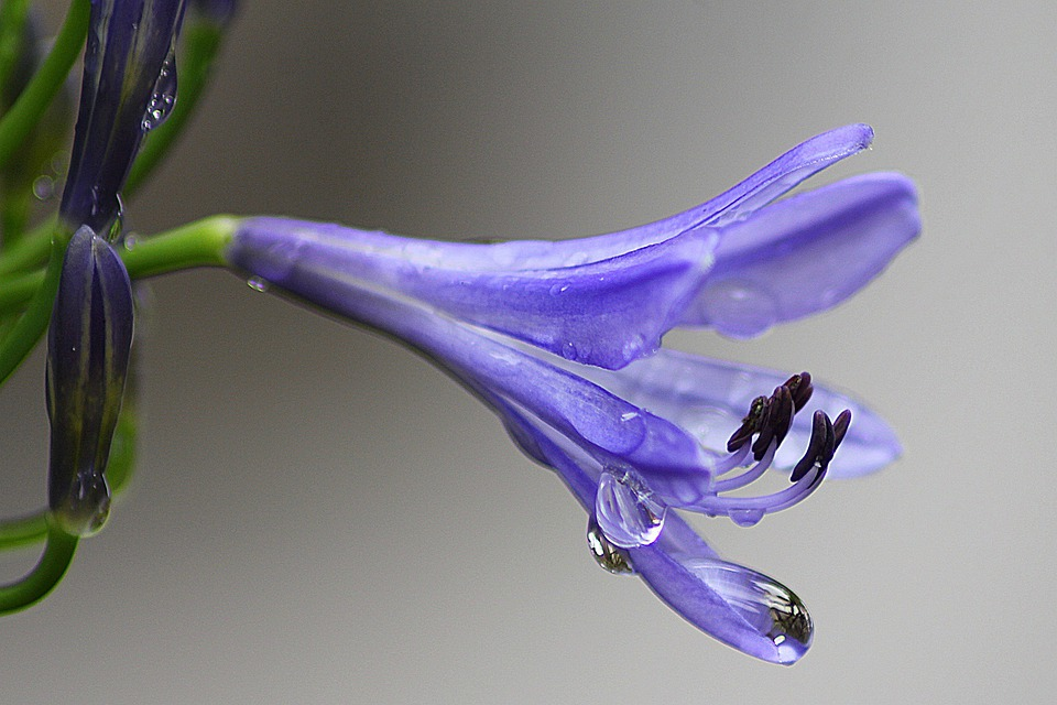 Agapanthus, Purple Flower, Floral, Blossom, Bloom
