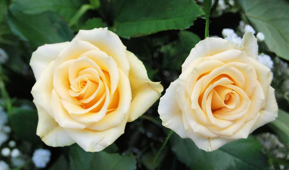 Rose, Bloom, Yellow, Romantic, Garden, Flower, Floral