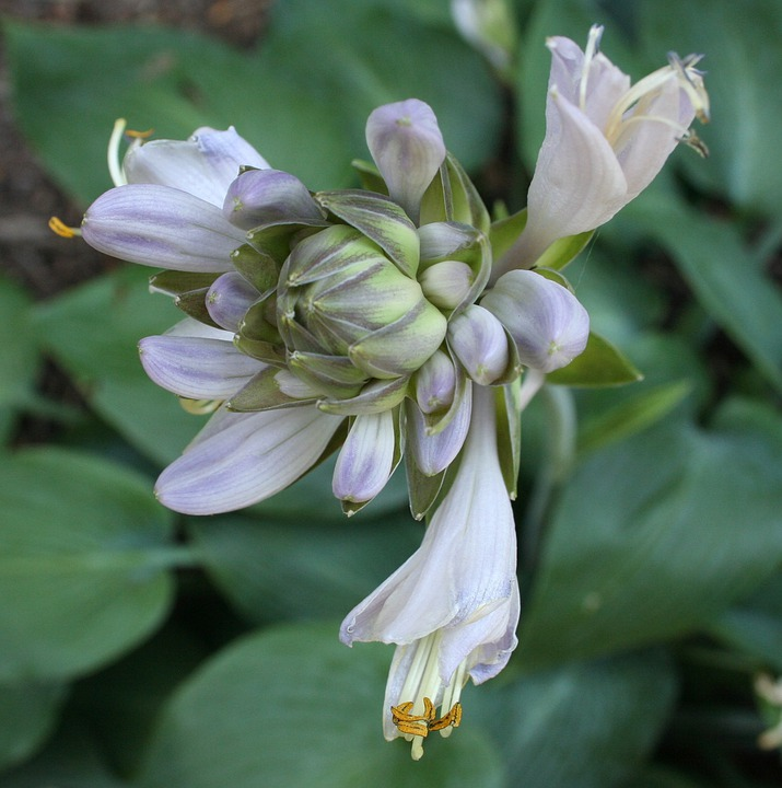 Blue Hosta, Floral, Plant, Natural, Blossom, Bloom