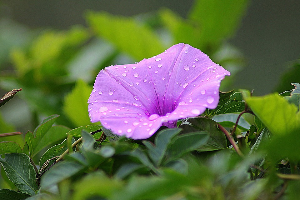 Flower, Morning Glory, Floral, Plant, Natural, Blossom