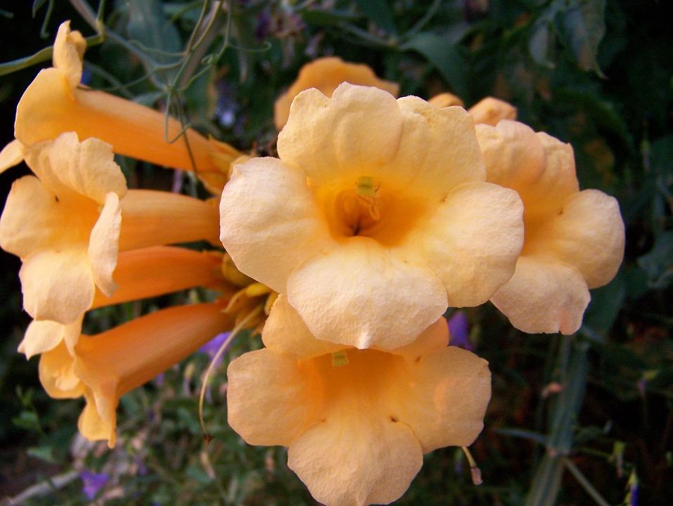 Trumpet Vine, Floral, Blossom