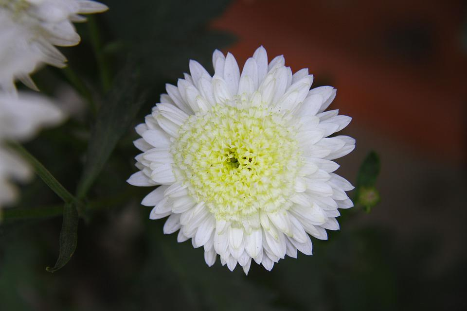 Chrysanthemum, Mum, Colorful, Plant, Floral, Flower