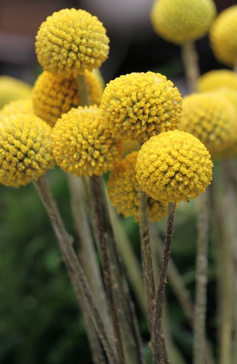 Billy Balls, Yellow, Freshness, Craspedia, Floral