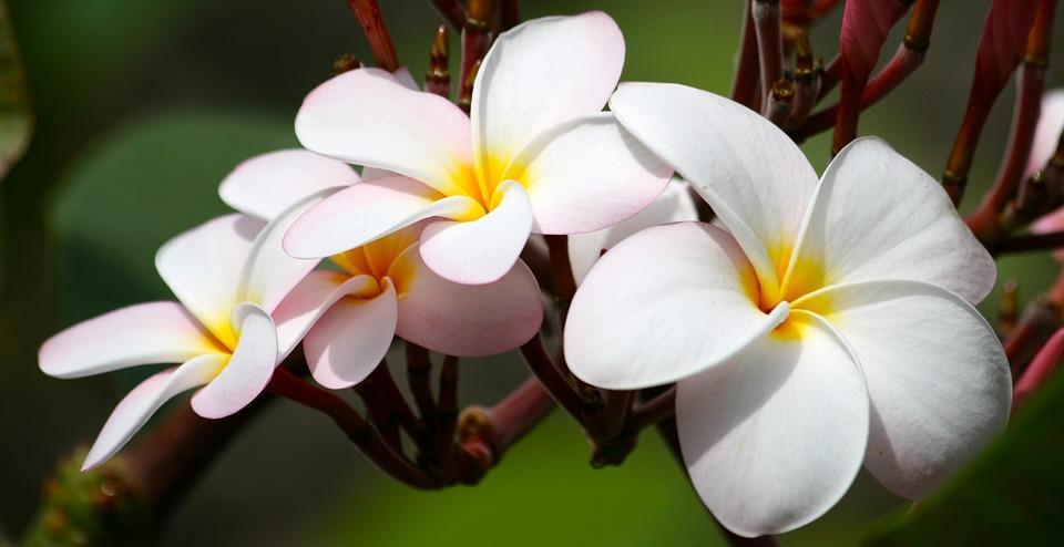 Plumeria, Garden, Flower, Exotic, White, Nature, Floral