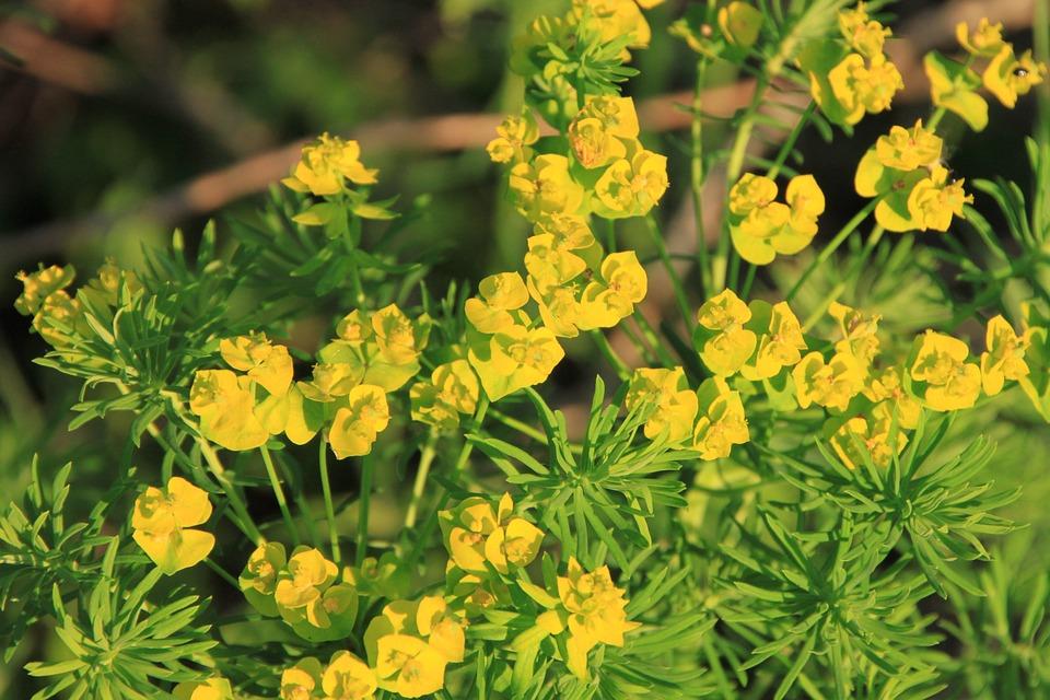 Cyparissias, Flower, Blossom, Flora, Floral, Cypress