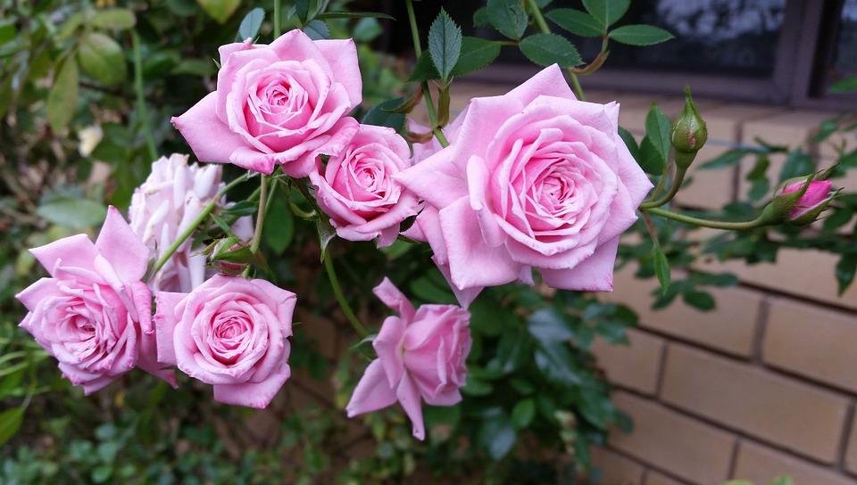 Flower, Rose, Flora, Petal, Floral
