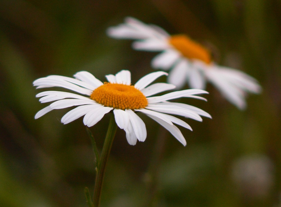 Flower, Daisy, Floral, Nature, Blossom, White, Bloom